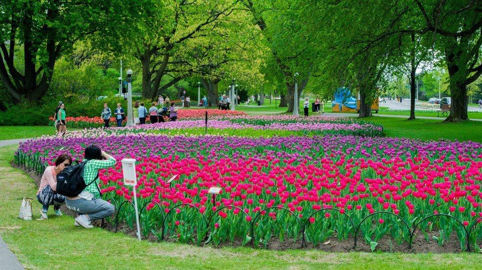 Canadian-Tulip-Festival_6-985x552  Canadian Tulip Festival: Como tudo começou Canadian Tulip Festival 6